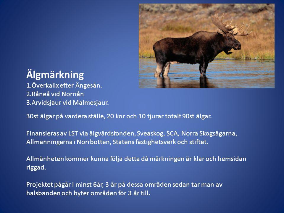 Älgmärkning 1.Överkalix efter Ängesån. 2.Råneå vid Norriån 3.Arvidsjaur vid Malmesjaur. 30st älgar på vardera ställe, 20 kor och 10 tjurar totalt 90st