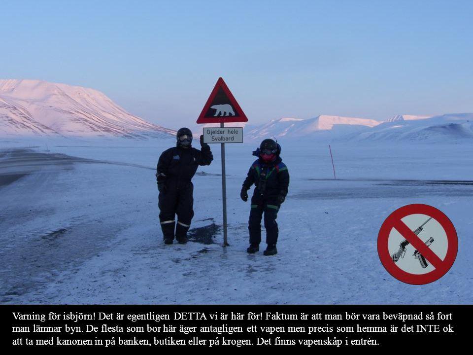 Varning för isbjörn! Det är egentligen DETTA vi är här för! Faktum är att man bör vara beväpnad så fort man lämnar byn. De flesta som bor här äger ant