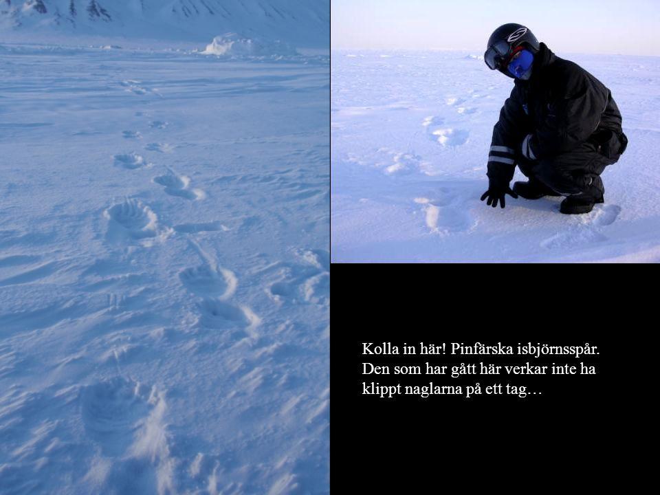 Kolla in här! Pinfärska isbjörnsspår. Den som har gått här verkar inte ha klippt naglarna på ett tag…