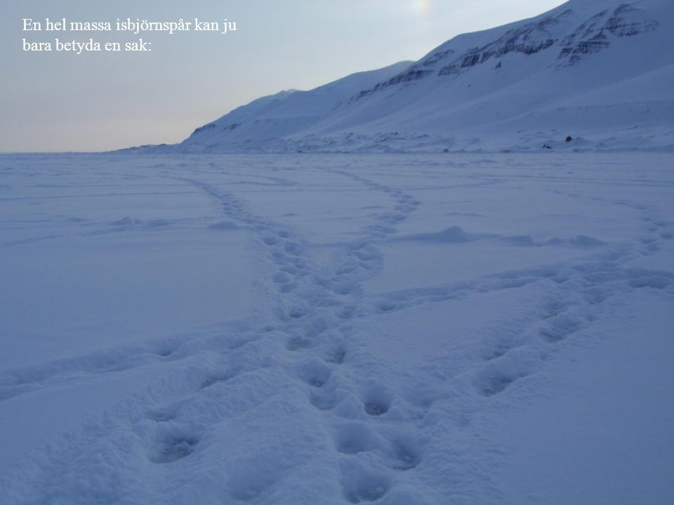 En hel massa isbjörnspår kan ju bara betyda en sak: