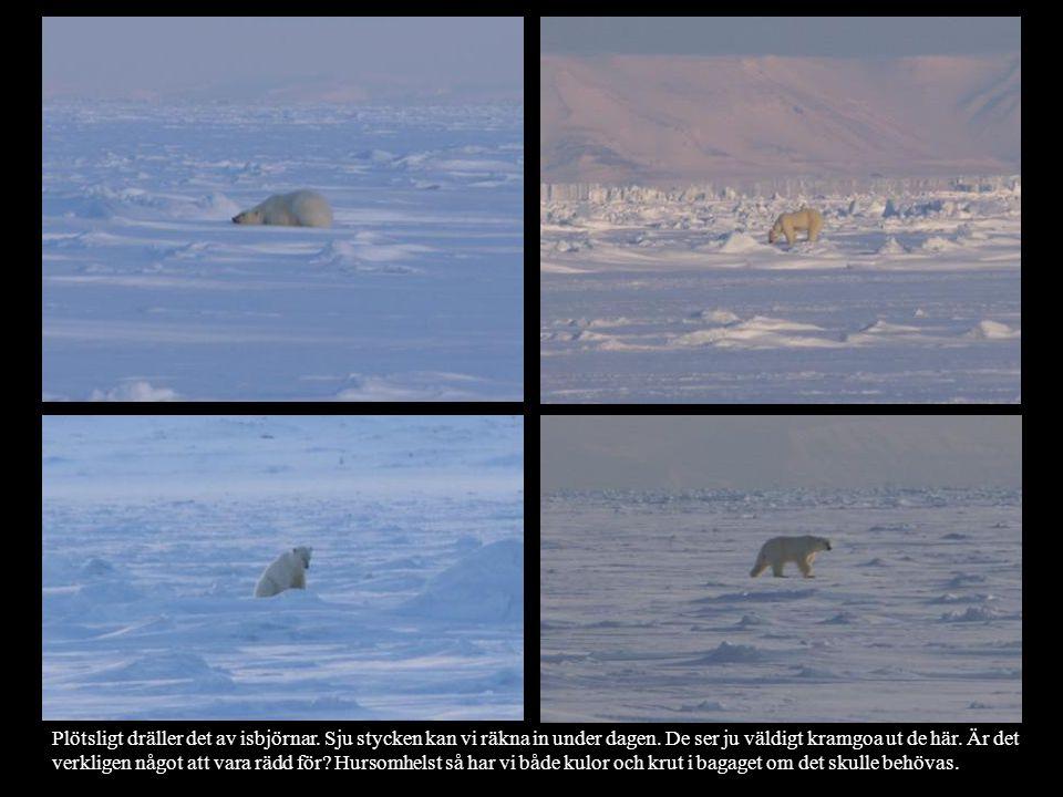 Plötsligt dräller det av isbjörnar. Sju stycken kan vi räkna in under dagen. De ser ju väldigt kramgoa ut de här. Är det verkligen något att vara rädd