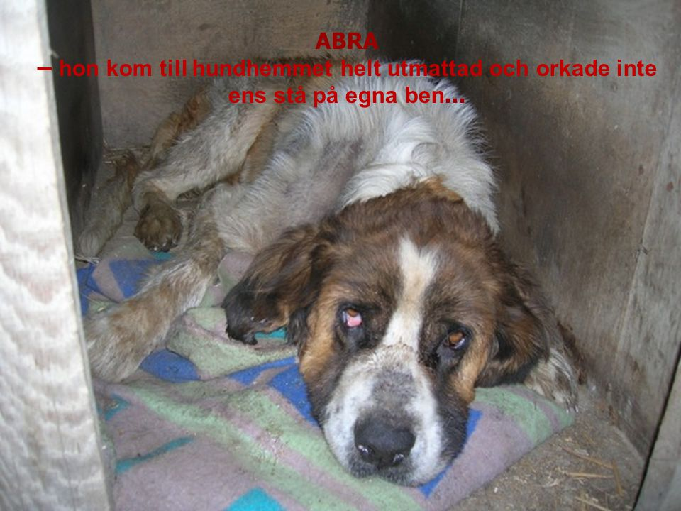 ABRA – trafiła do schroniska skrajnie wycieńczona, nie mogła stać o własnych siłach... ABRA – hon kom till hundhemmet helt utmattad och orkade inte en