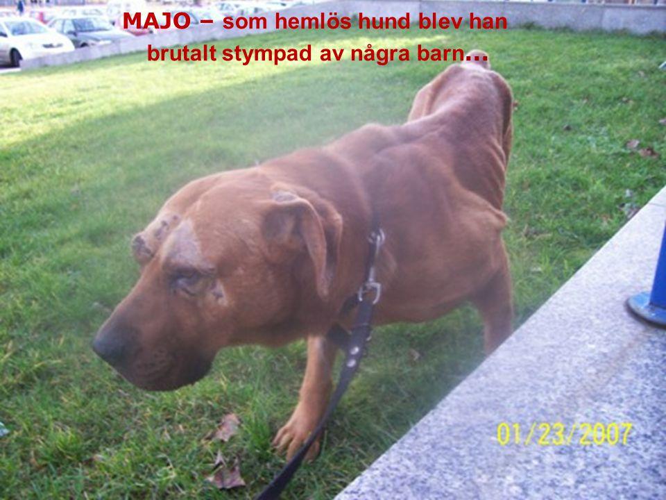MAJO – bezdomny pies okrutnie okaleczony prze dzieci... MAJO – som hemlös hund blev han brutalt stympad av några barn...