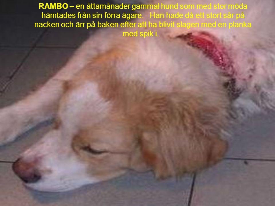 RAMBO – en åttamånader gammal hund som med stor möda hämtades från sin förra ägare. Han hade då ett stort sår på nacken och ärr på baken efter att ha