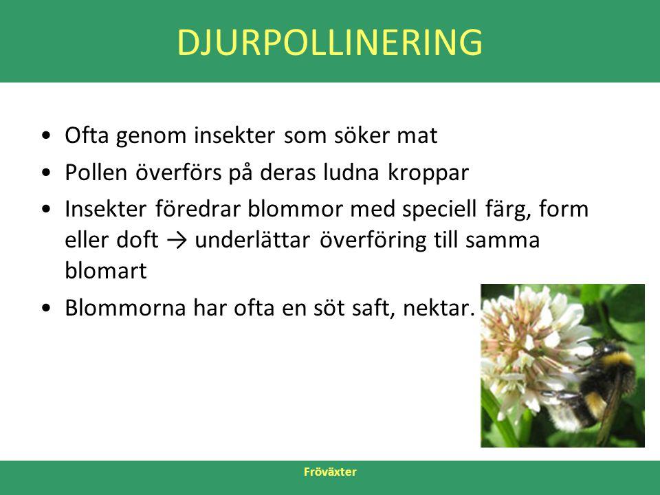 Fröväxter DJURPOLLINERING •Ofta genom insekter som söker mat •Pollen överförs på deras ludna kroppar •Insekter föredrar blommor med speciell färg, for