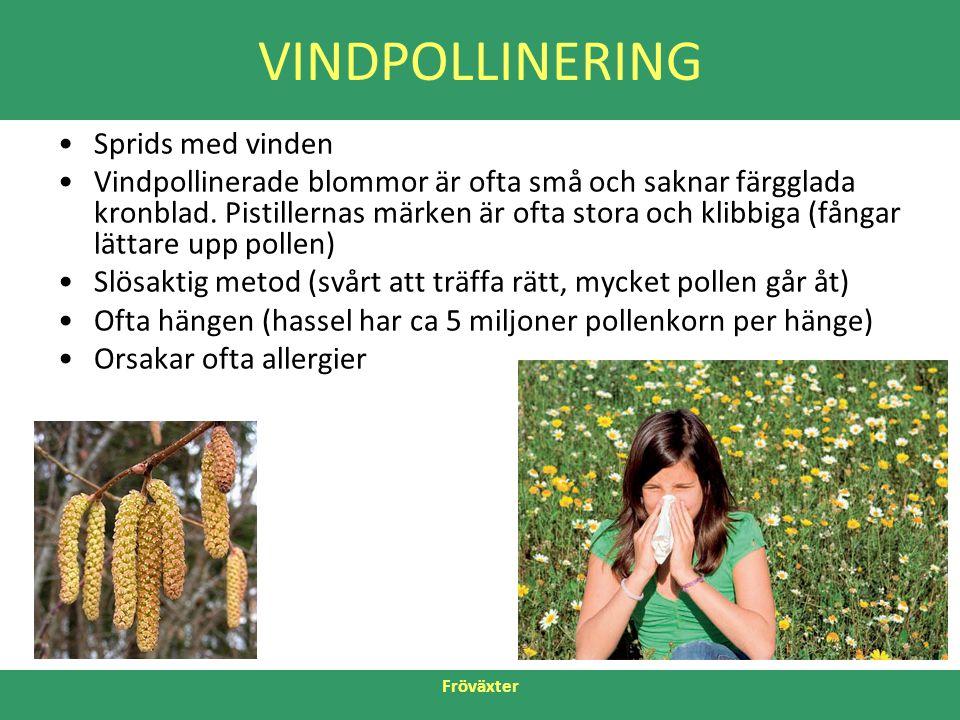 Fröväxter VINDPOLLINERING •Sprids med vinden •Vindpollinerade blommor är ofta små och saknar färgglada kronblad. Pistillernas märken är ofta stora och