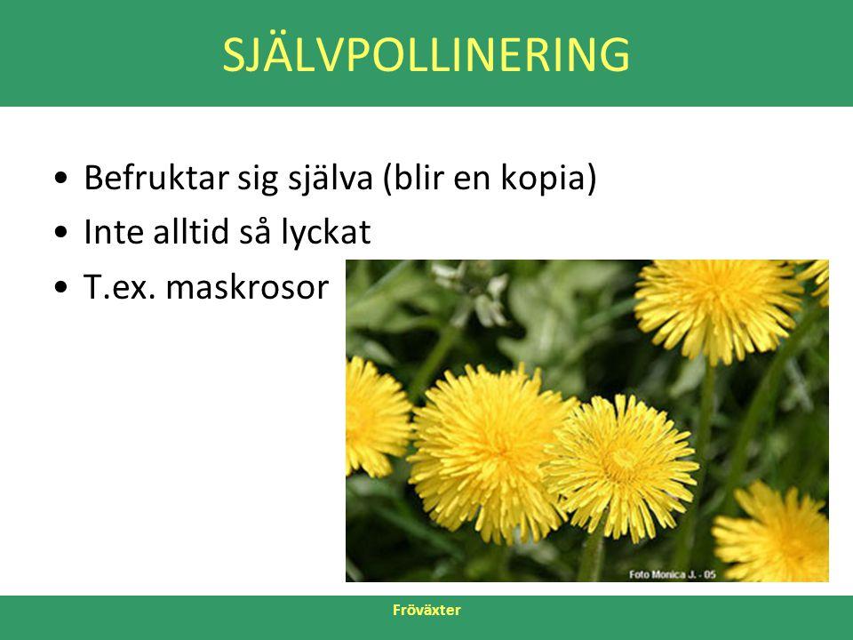 Fröväxter SJÄLVPOLLINERING •Befruktar sig själva (blir en kopia) •Inte alltid så lyckat •T.ex. maskrosor