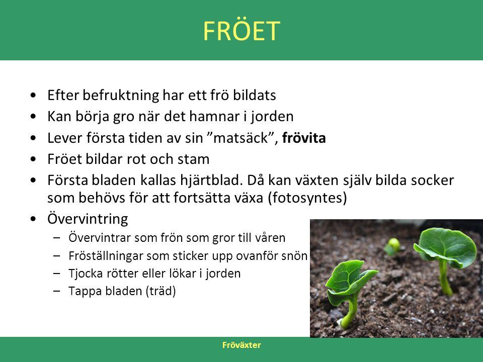 """Fröväxter FRÖET •Efter befruktning har ett frö bildats •Kan börja gro när det hamnar i jorden •Lever första tiden av sin """"matsäck"""", frövita •Fröet bil"""