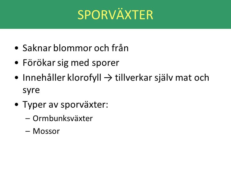 SPORVÄXTER •Saknar blommor och från •Förökar sig med sporer •Innehåller klorofyll → tillverkar själv mat och syre •Typer av sporväxter: –Ormbunksväxte