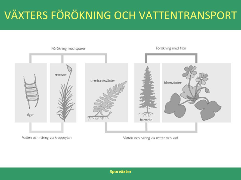 VÄXTERS FÖRÖKNING OCH VATTENTRANSPORT Sporväxter