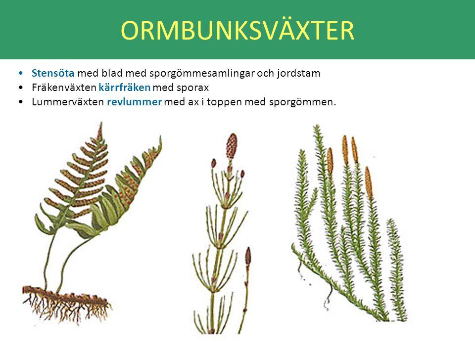 ORMBUNKSVÄXTER •Stensöta med blad med sporgömmesamlingar och jordstam •Fräkenväxten kärrfräken med sporax •Lummerväxten revlummer med ax i toppen med