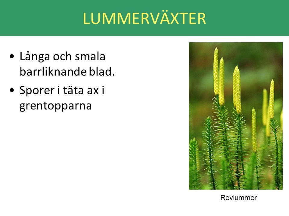 LUMMERVÄXTER •Långa och smala barrliknande blad. •Sporer i täta ax i grentopparna Revlummer