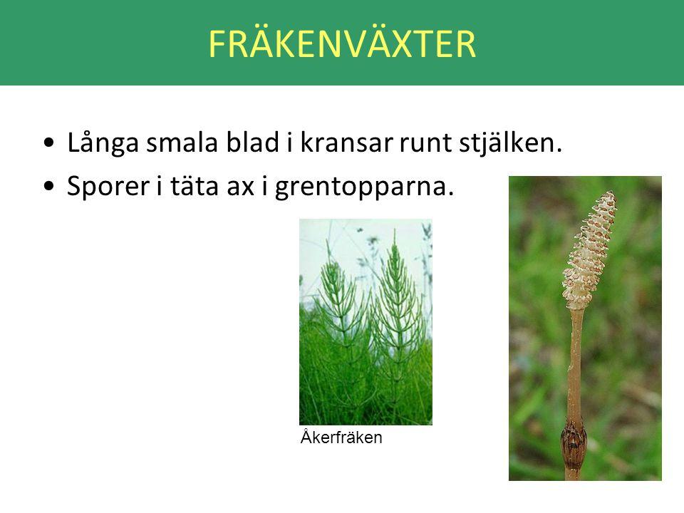 FRÄKENVÄXTER •Långa smala blad i kransar runt stjälken. •Sporer i täta ax i grentopparna. Åkerfräken