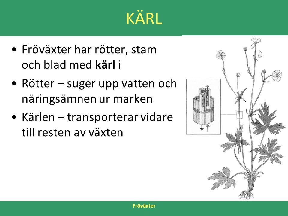 Fröväxter KÄRL •Fröväxter har rötter, stam och blad med kärl i •Rötter – suger upp vatten och näringsämnen ur marken •Kärlen – transporterar vidare ti