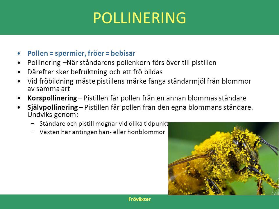 Fröväxter POLLINERING •Pollen = spermier, fröer = bebisar •Pollinering –När ståndarens pollenkorn förs över till pistillen •Därefter sker befruktning