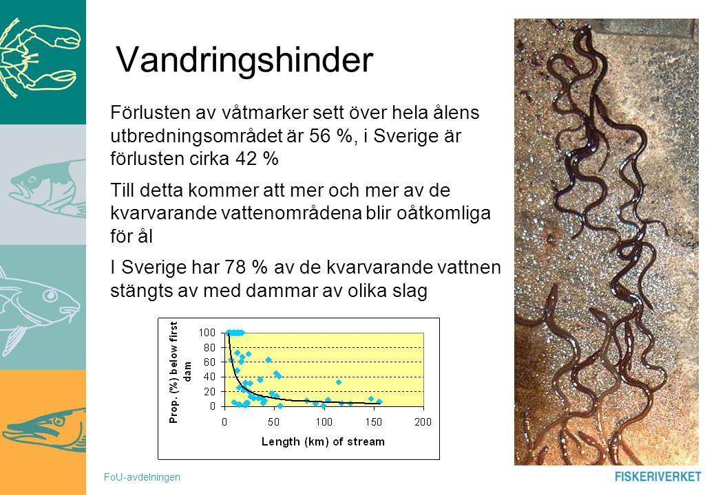 FoU-avdelningen Vandringshinder Förlusten av våtmarker sett över hela ålens utbredningsområdet är 56 %, i Sverige är förlusten cirka 42 % Till detta k