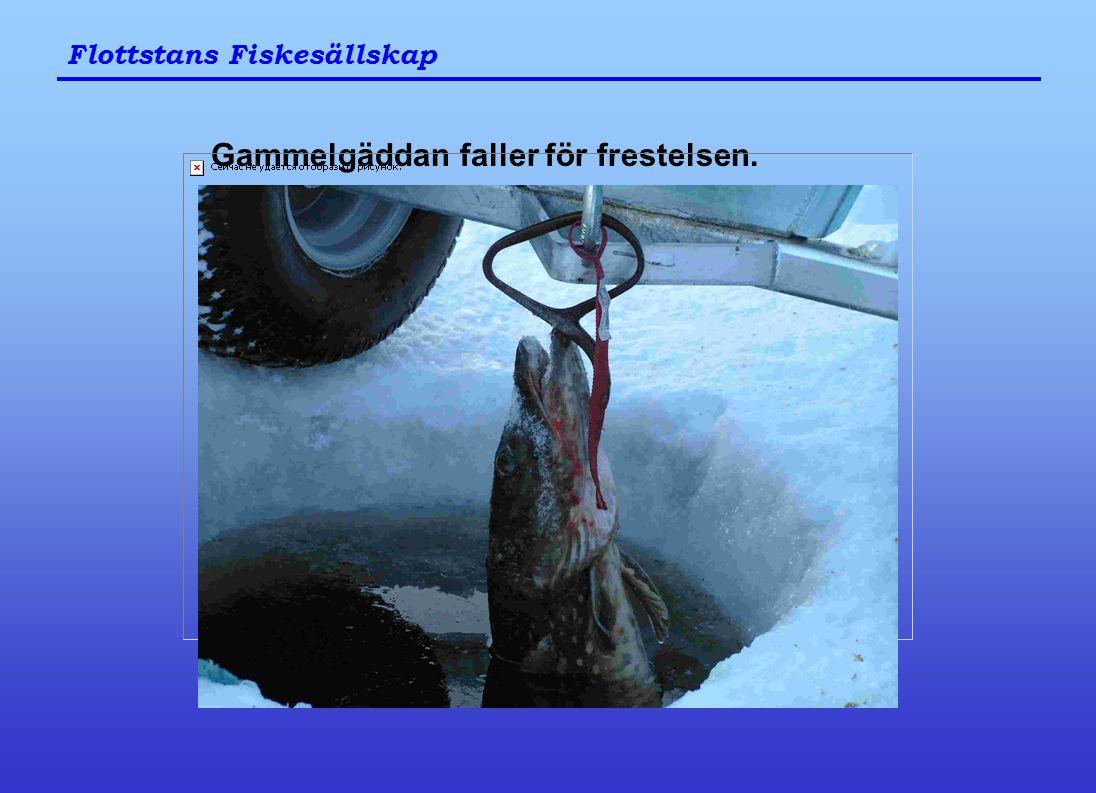 Flottstans Fiskesällskap Gammelgäddan faller för frestelsen.
