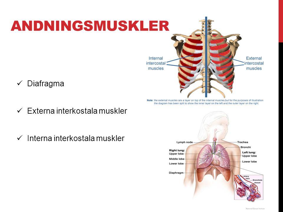 ANDNINGSMUSKLER  Diafragma  Externa interkostala muskler  Interna interkostala muskler