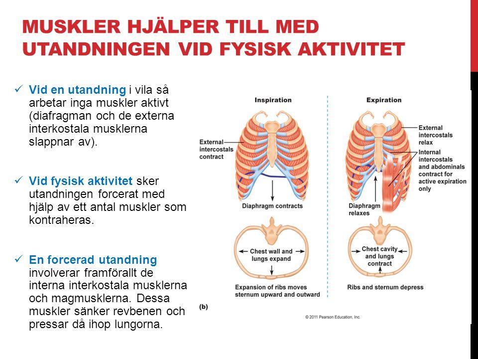 MUSKLER HJÄLPER TILL MED UTANDNINGEN VID FYSISK AKTIVITET  Vid en utandning i vila så arbetar inga muskler aktivt (diafragman och de externa interkos