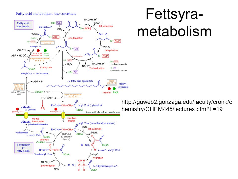 Fettsyra- metabolism http://guweb2.gonzaga.edu/faculty/cronk/c hemistry/CHEM445/lectures.cfm?L=19