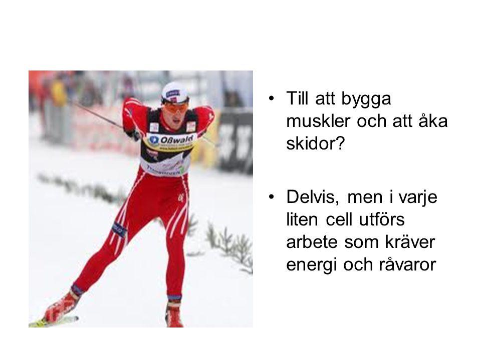 •Till att bygga muskler och att åka skidor? •Delvis, men i varje liten cell utförs arbete som kräver energi och råvaror