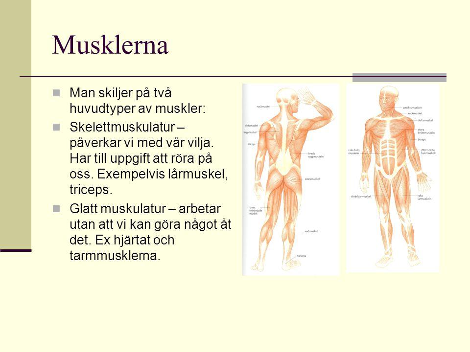Musklerna MMan skiljer på två huvudtyper av muskler: SSkelettmuskulatur – påverkar vi med vår vilja.