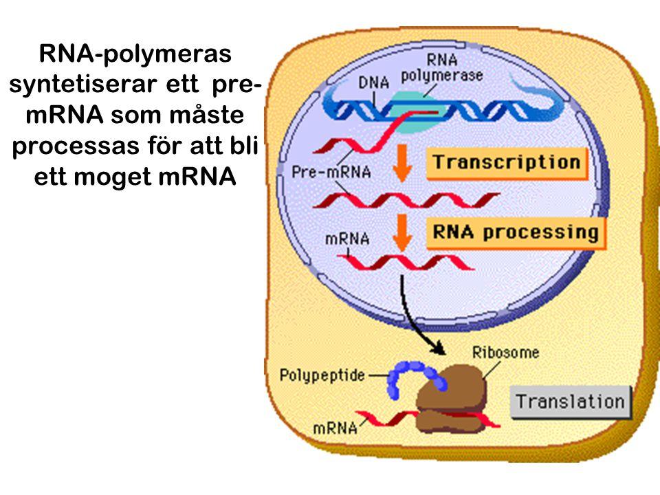 RNA-polymeras syntetiserar ett pre- mRNA som måste processas för att bli ett moget mRNA