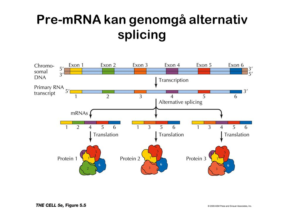 Pre-mRNA kan genomgå alternativ splicing
