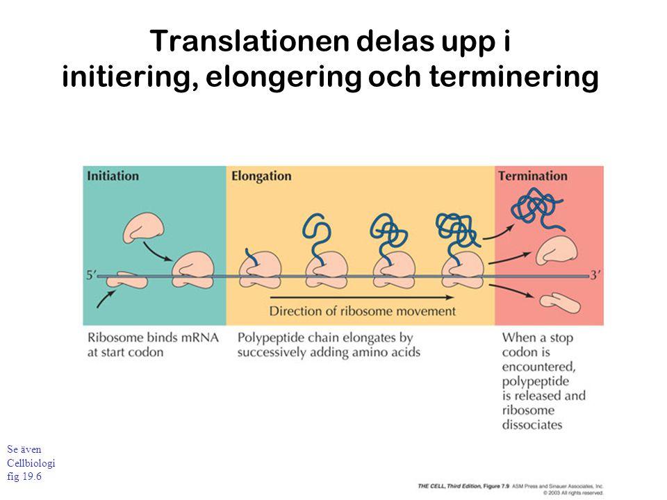 Translationen delas upp i initiering, elongering och terminering Se även Cellbiologi fig 19.6