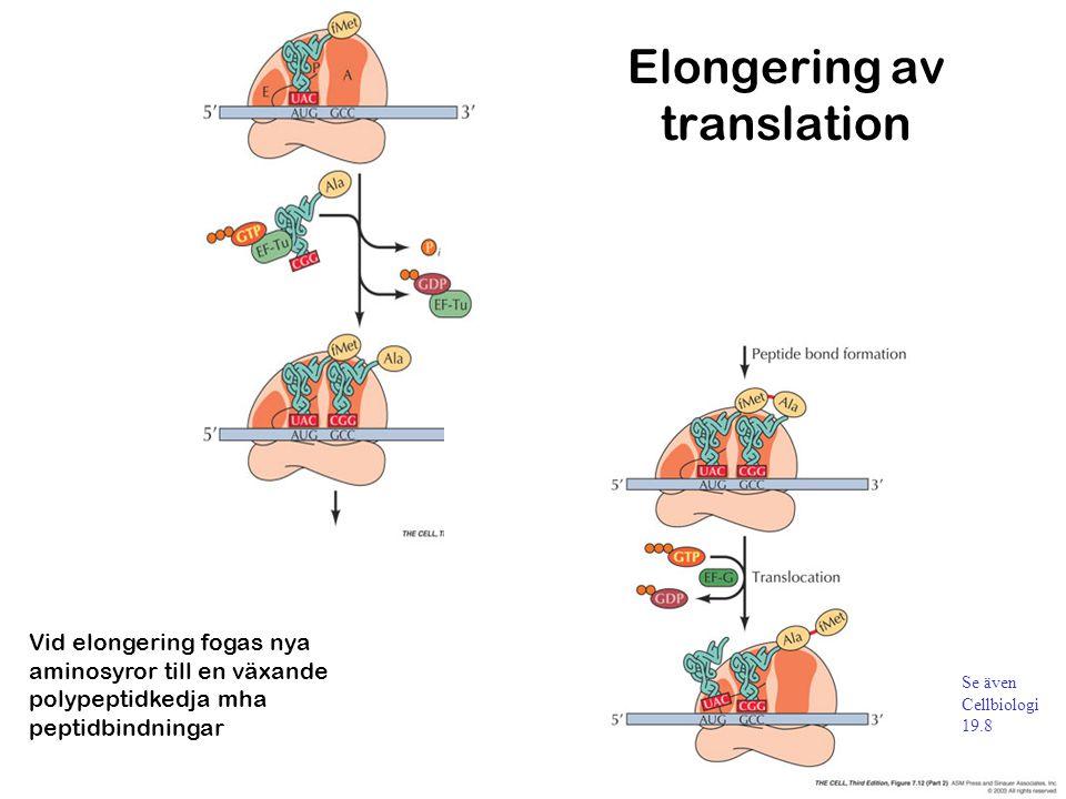 Vid elongering fogas nya aminosyror till en växande polypeptidkedja mha peptidbindningar Elongering av translation Se även Cellbiologi 19.8