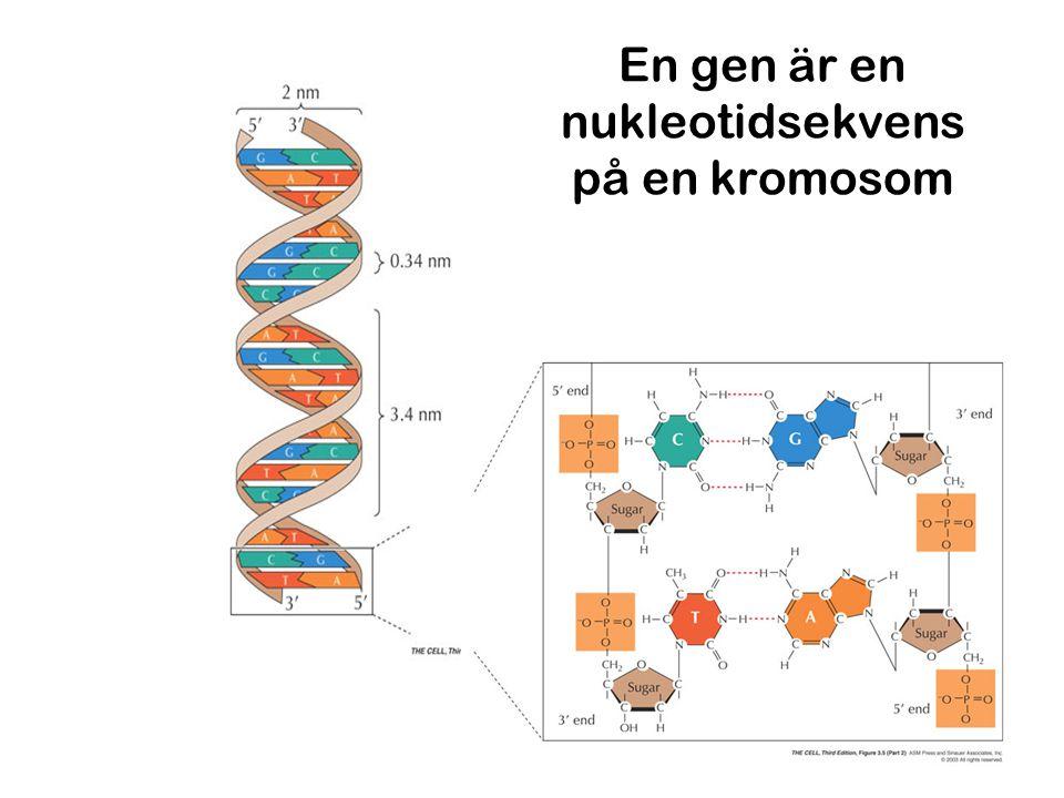 En gen är en nukleotidsekvens på en kromosom