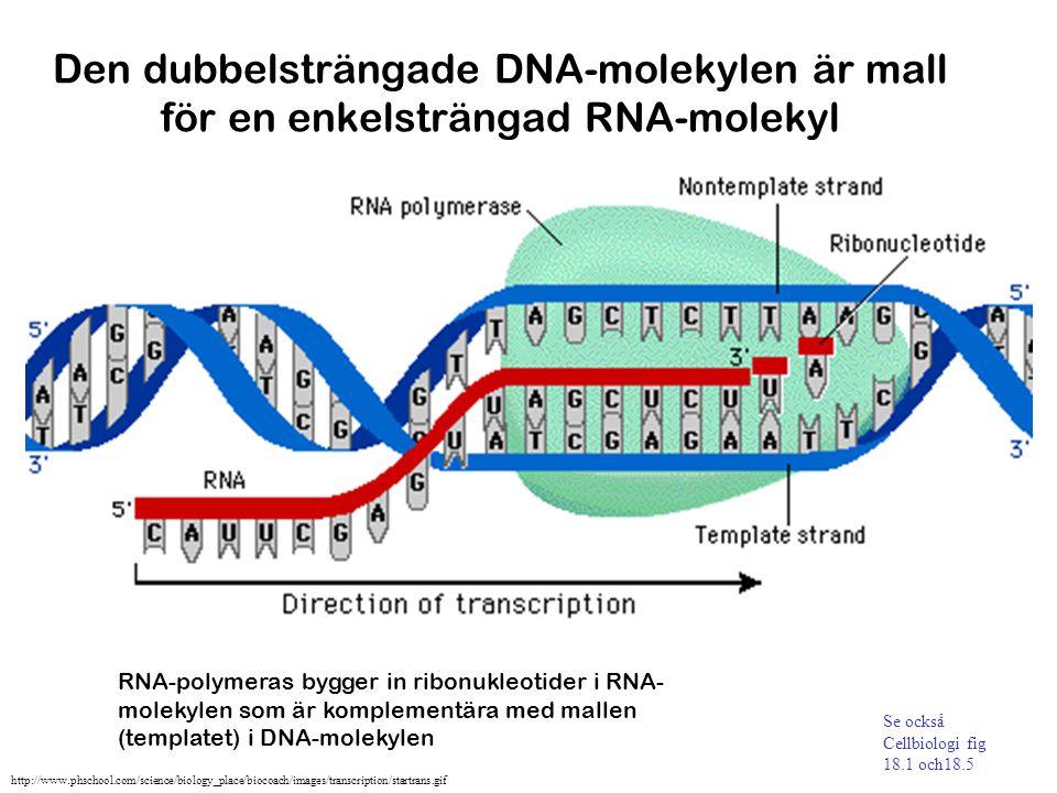 Den dubbelsträngade DNA-molekylen är mall för en enkelsträngad RNA-molekyl RNA-polymeras bygger in ribonukleotider i RNA- molekylen som är komplementä