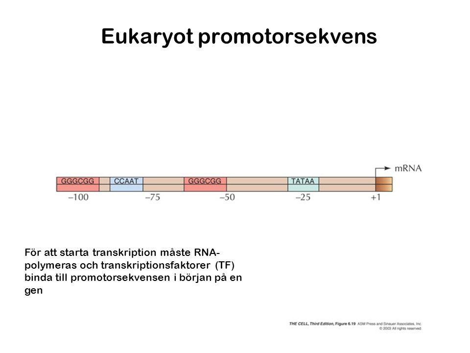 Eukaryot promotorsekvens För att starta transkription måste RNA- polymeras och transkriptionsfaktorer (TF) binda till promotorsekvensen i början på en
