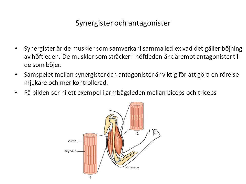 Synergister och antagonister • Synergister är de muskler som samverkar i samma led ex vad det gäller böjning av höftleden. De muskler som sträcker i h