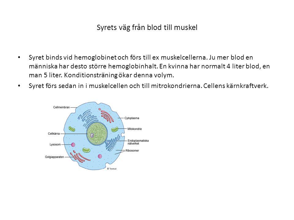 Syrets väg från blod till muskel • Syret binds vid hemoglobinet och förs till ex muskelcellerna. Ju mer blod en människa har desto större hemoglobinha