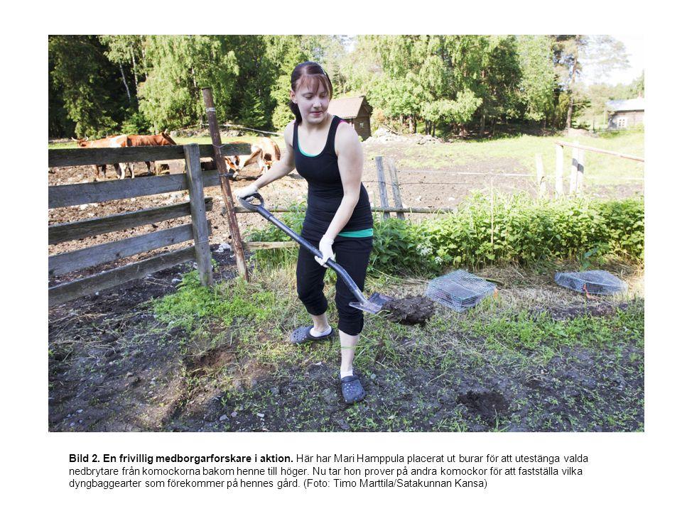 Bild 2. En frivillig medborgarforskare i aktion. Här har Mari Hamppula placerat ut burar för att utestänga valda nedbrytare från komockorna bakom henn
