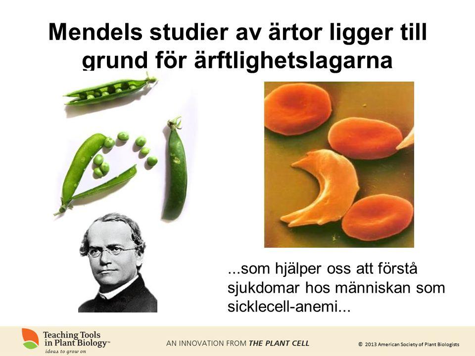 © 2013 American Society of Plant Biologists Mendels studier av ärtor ligger till grund för ärftlighetslagarna...som hjälper oss att förstå sjukdomar h