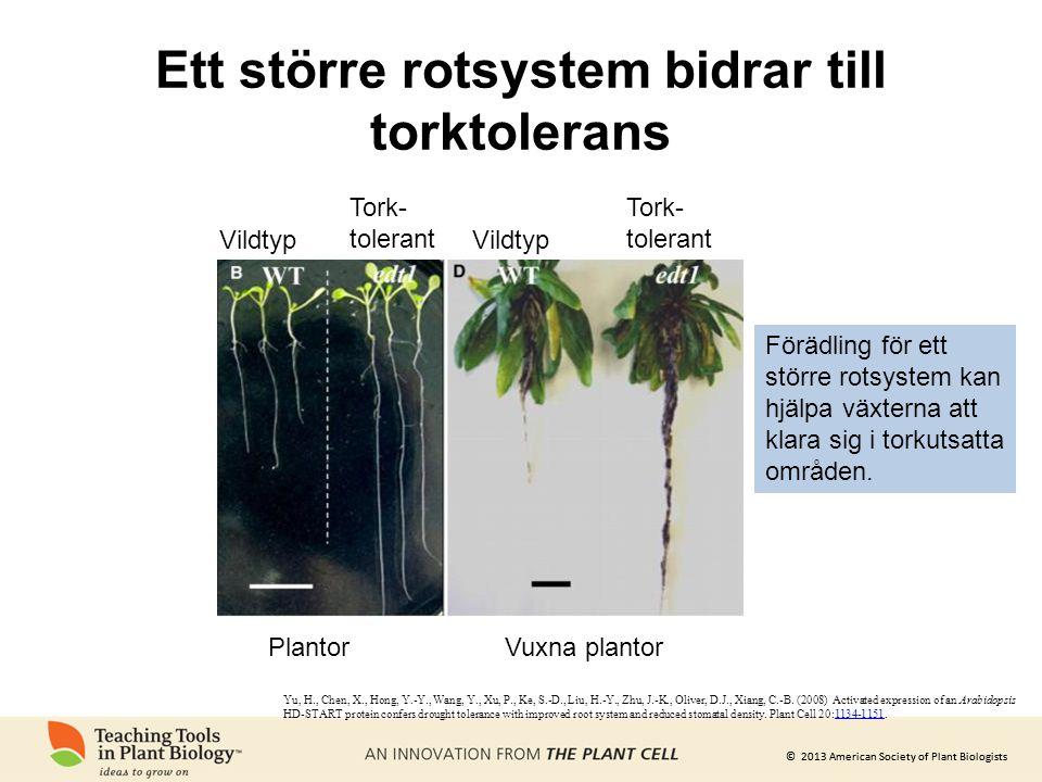 © 2013 American Society of Plant Biologists Ett större rotsystem bidrar till torktolerans PlantorVuxna plantor Vildtyp Tork- tolerant Tork- tolerant F