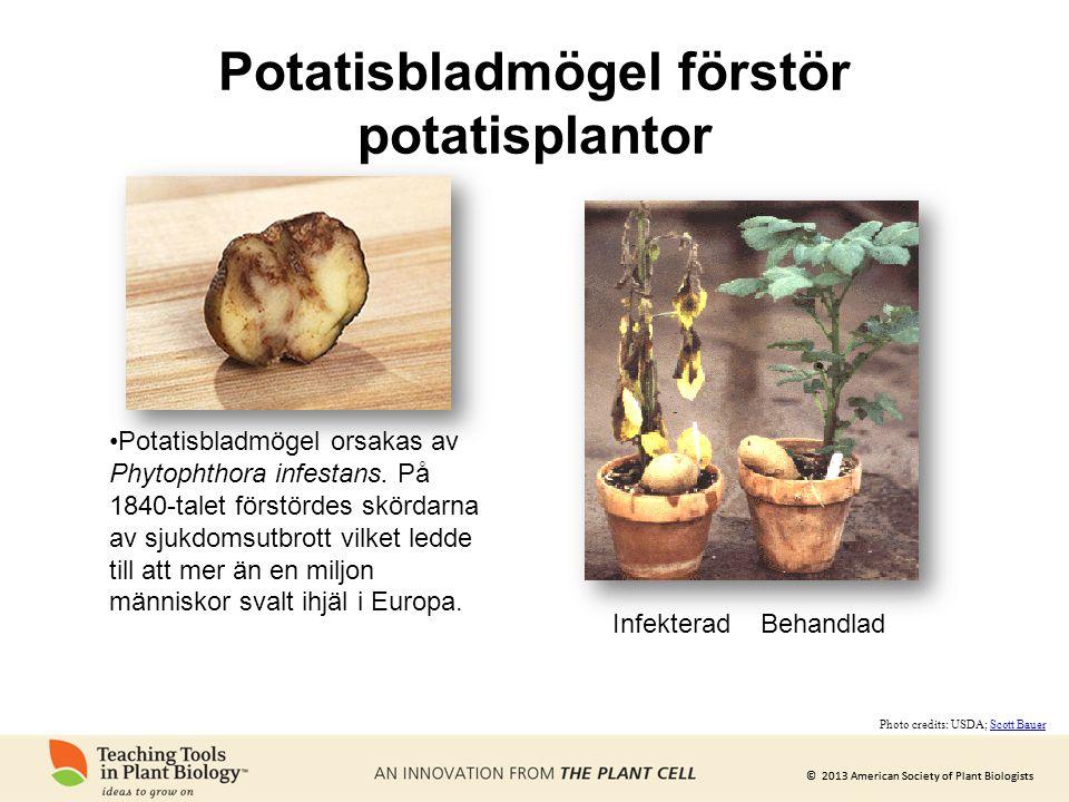 © 2013 American Society of Plant Biologists Potatisbladmögel förstör potatisplantor •Potatisbladmögel orsakas av Phytophthora infestans. På 1840-talet