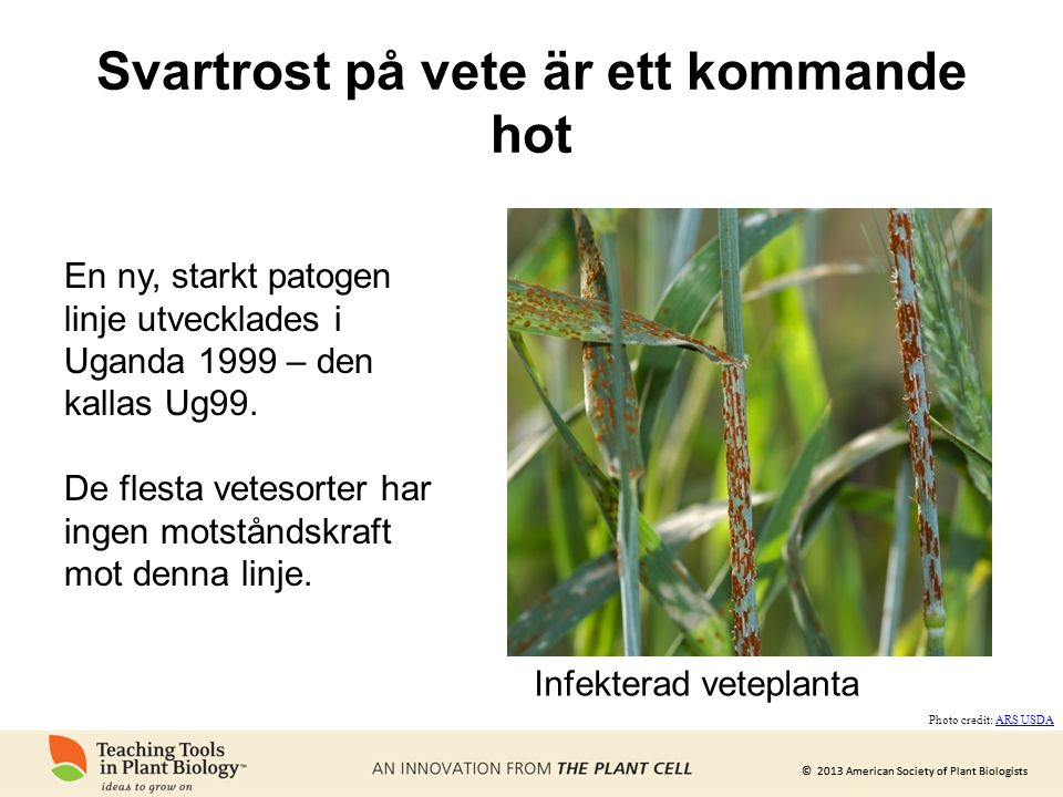 © 2013 American Society of Plant Biologists Svartrost på vete är ett kommande hot Infekterad veteplanta Photo credit: ARS USDAARS USDA En ny, starkt p