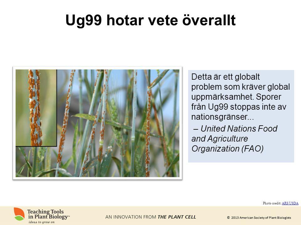 © 2013 American Society of Plant Biologists Ug99 hotar vete överallt Detta är ett globalt problem som kräver global uppmärksamhet. Sporer från Ug99 st