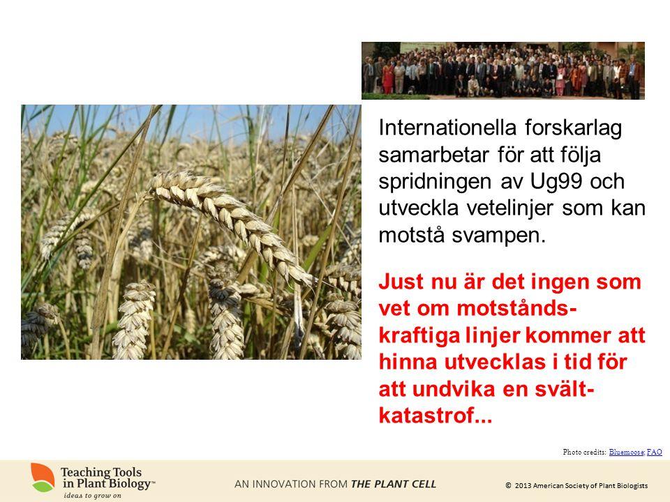 © 2013 American Society of Plant Biologists Internationella forskarlag samarbetar för att följa spridningen av Ug99 och utveckla vetelinjer som kan mo