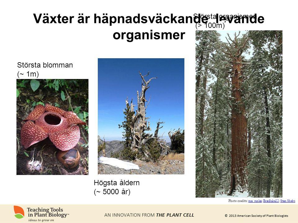 © 2013 American Society of Plant Biologists Växter är häpnadsväckande levande organismer Största blomman (~ 1m) Högsta åldern (~ 5000 år) Största orga