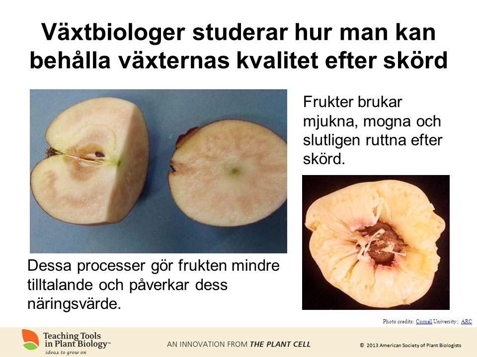 © 2013 American Society of Plant Biologists Växtbiologer studerar hur man kan behålla växternas kvalitet efter skörd Frukter brukar mjukna, mogna och