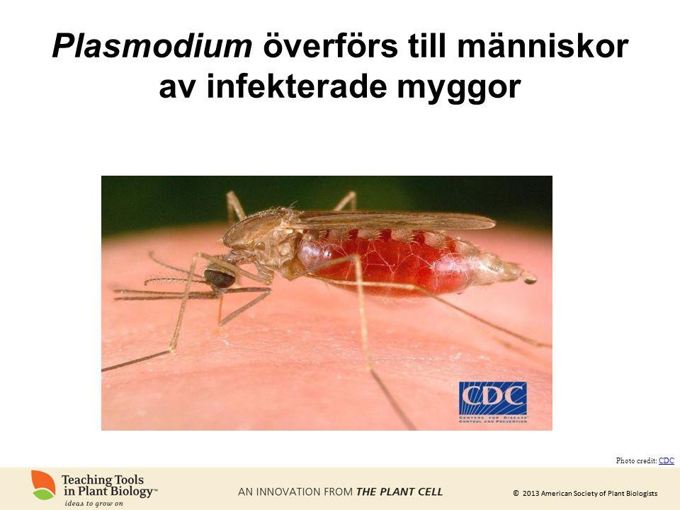 © 2013 American Society of Plant Biologists Plasmodium överförs till människor av infekterade myggor Photo credit: CDCCDC