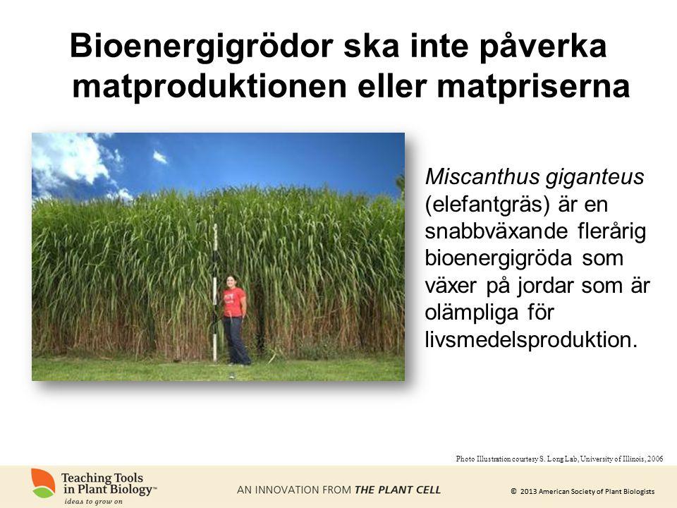 © 2013 American Society of Plant Biologists Bioenergigrödor ska inte påverka matproduktionen eller matpriserna Miscanthus giganteus (elefantgräs) är e
