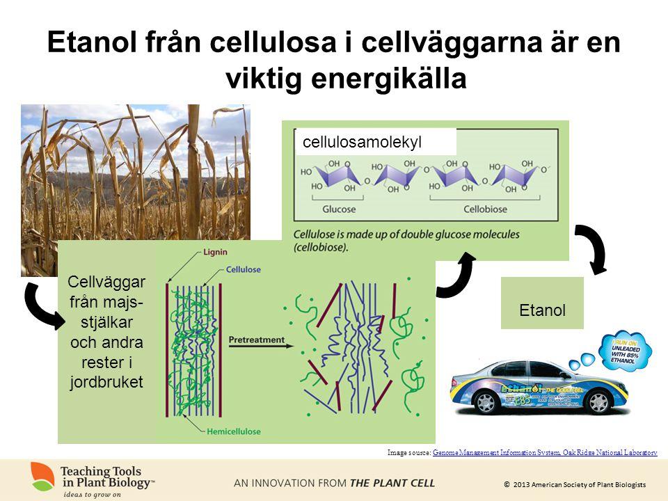 © 2013 American Society of Plant Biologists Etanol från cellulosa i cellväggarna är en viktig energikälla Cellväggar från majs- stjälkar och andra res