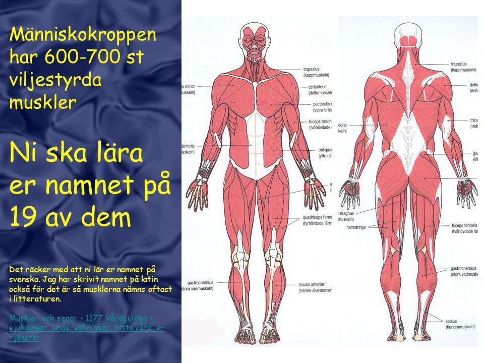 Människokroppen har 600-700 st viljestyrda muskler Ni ska lära er namnet på 19 av dem Det räcker med att ni lär er namnet på svenska. Jag har skrivit