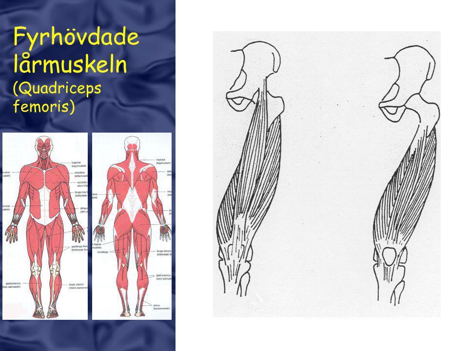 Fyrhövdade lårmuskeln (Quadriceps femoris)
