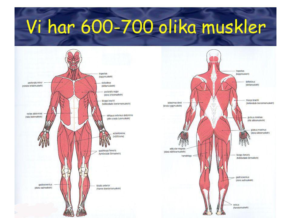 Människokroppen har 600-700 st viljestyrda muskler Ni ska lära er namnet på 19 av dem Det räcker med att ni lär er namnet på svenska.